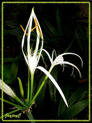 Hymenocallis caribaea (Caribbean Spiderlily, White Lily, Spider Lily) with a blossoming bud, April 26 2009