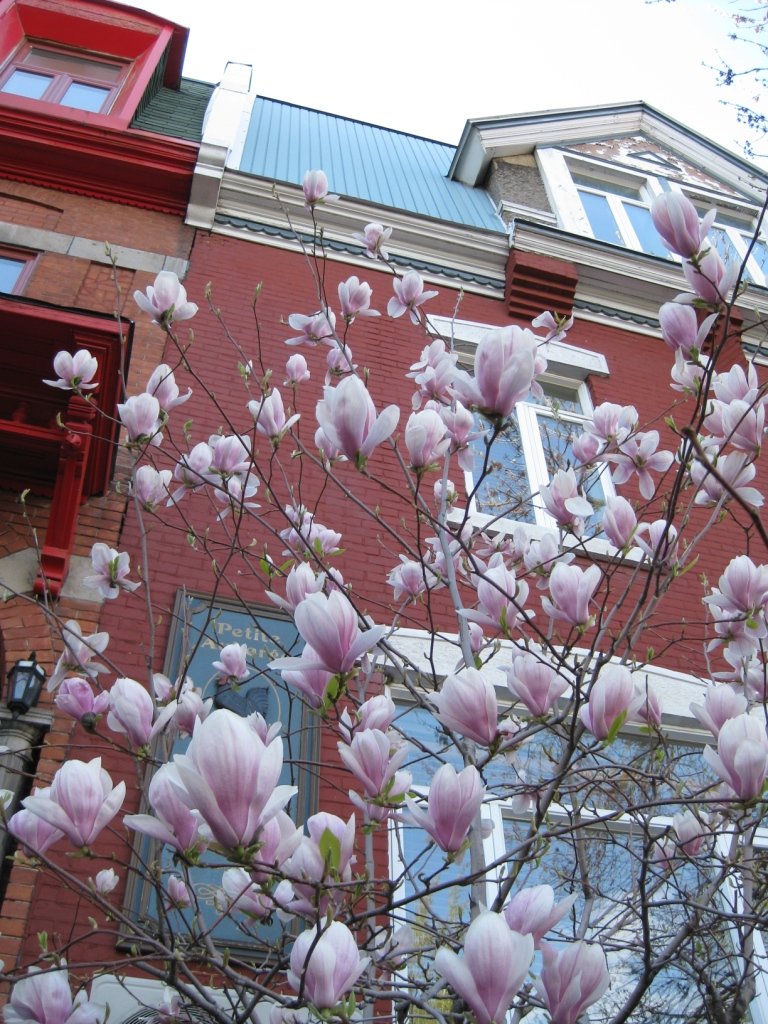 Photo Du Jour Pink Blossoms Spacing Montreal