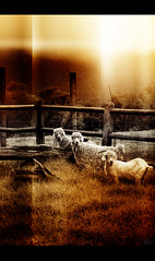 Two by Three (Art Photography South Africa | Nico van der Merwe) Tags: sunset sky orange cloud abstract love wool crimson look lines sepia clouds sunrise fence southafrica photography cow high interesting twilight warm heaven different cattle african abstractart unique surrealism free surreal goat bull meat story cotton fantasy photograph mohair stare lamb afrika lonely fleece archival barbwire herd limitededition tinted capeprovince farmanimals gardenroute groups graze 2010 fineartphotography westerncape surrealart cutelambs newart giclee krugersdorp bwphotos goatphotos domesticatedanimals fantasyphotos canvasprint funnysheep soulmyst capephotos nicovandermerwe investmentart sheepphotos