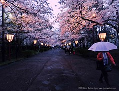 Sakura Night (Hirosaki Japan).  Glenn Waters.   (Explored)  4,700 visits to this photo.  Thank you. (Glenn Waters in Japan.) Tags: rain japan night umbrella explore  sakura cherryblossoms      5photosaday explored  nikond700  glennwaters nikkorafs1424mmf28