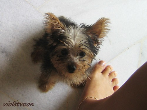My Yorkie Sugar