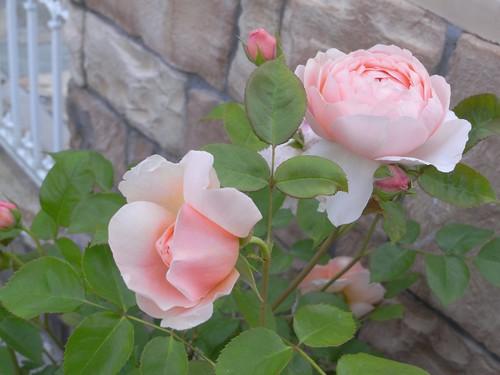 霊山寺「バラ庭園」@奈良市-16