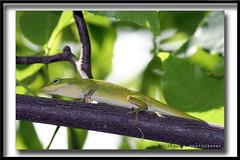 gecko is back... you can crawl but you can't hide ;-) (Kamoteus (A New Beginning)) Tags: green northcarolina lizard gecko blueridgeparkway chimneyrock kamote kamoteus2003 kamoteus burabog ronmiguelrn