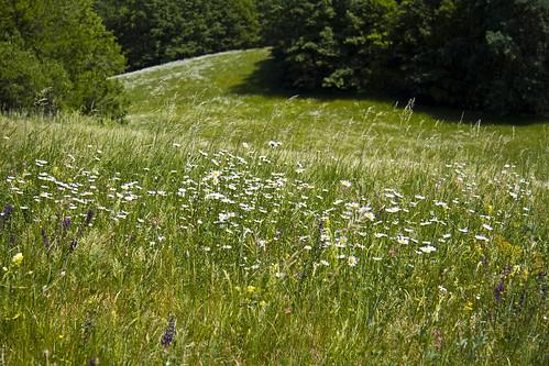 Daisy meadow #4