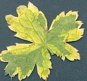 G. x oxonianum 'Spring Fling' 01 (Dr. Evrard)