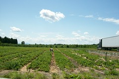 spring 09 pics 030 (dadootdoots) Tags: spring strawberries farms organic