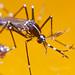 Aedes albopictus (Male)
