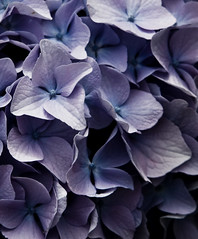 Hydrangea (LollyKnit) Tags: hydrangea
