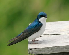 Swallow, Tree (david.beadle) Tags: bird birds swallow longpoint hirundine ontariobirds