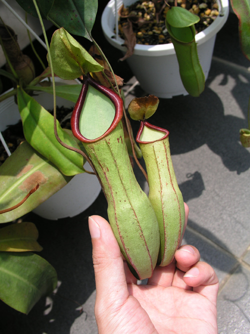 20100521UnknownNepenthes