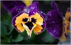 - feminine flower - (ChrisK4u) Tags: flower austria österreich drops feminine kärnten carinthia blume viktring canoneos5dmarkii sigma150mm28exdgapoifmakro
