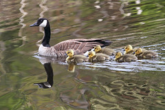 Happy Mother's Day! (Peggy Collins) Tags: reflections children geese britishcolumbia mother goose goslings pacificnorthwest penderharbour sunshinecoast canadagoose canadageese brood canda babybirds platinumphoto gooseswimming peggycollins geeseswimming motherandbabybirds