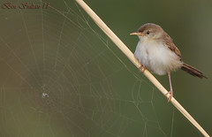 Graceful Prinia   -   -  () Tags: bird birds bin sultan prinia graceful qatar  birdwatchers    gracilis