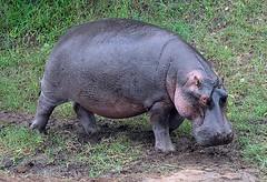 Hippo, Maasai Mara, Kenya