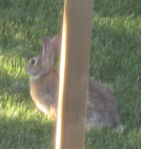 rabbitcrop