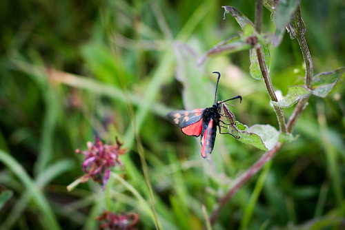 Narrow-bordered Five-spot Burnet... I think