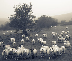 All eyes on EWE (Dan Baillie) Tags: blackandwhite mist field fog square mono scotland nikon sheep farm portfolio animalplanet galloway dumfriesandgalloway ewe puddock wigtownshire danbaillie yourcountry bailliephotographycouk bailliephotography wigtownshirephotographer dumfriesandgallowayphotography