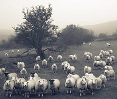 All eyes on EWE (Dan Baillie) Tags: blackandwhite mist field fog square mono scotland nikon sheep farm portfolio animalplanet galloway dumfriesandgalloway ewe puddock wigtownshire danbaillie yourcountry bailliephotographycouk bailliephotography wigtownshirephotographer dumfriesandgallowayphotography
