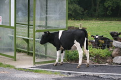 Cow at bus stop Monreith Scotland (jillyspoon) Tags: bus strange canon eos scotland cow pavement path busstop canoneos incongruous dumfriesgalloway dumfriesandgalloway monreith blackandwhitecow busqueue wigtownshire 450d canon450d southwestscotland canoneos450d canon450deos captionable cowatbusstop cowonpath queuingcow