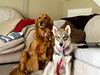 the furry girls (Jazz Panda) Tags: dog puppy golden furry wolf pretty whisper sweet retriever hybrid wolamute