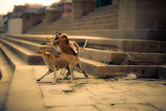 Dog Fight (Josiah!) Tags: india slr digital photoshop canon lens eos reflex mark iii telephoto adobe single varanasi 12 dslr 1ds josiah lightroom f12 benares ghat mark3 canonef85mmf12lii canoneos1dsmarkiii 1dsmarkiii canon1dsmarkiii 1dsmark3 josiahpugh eternallyaddicted pughphotography