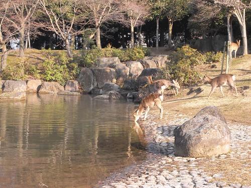 早朝の東大寺(鹿たち)-11