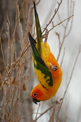 sun conure (7) (Dave Womach) Tags: trees sun bird outside ut branches small parrot moab macaw conure freeflying freeflight conue