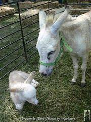 ***EXPLORE *** FBI: P2070607 ITS A ROUGH WORLD OUT THERE, YOU HAVE TO WATCH AS YOU GROW UP.. NOT EVERYONE IS YOUR FRIEND....SOMEONE ALWAYS BREAKS YOUR HEART... (Frozen in Time photos by Marianne AWAY OFF/ON) Tags: animals donkeys donkey scout explore burro goats veteranspark burros fbi farmanimals naturesfinest americaamerica septemberfest whitedonkey hamiltonnewjersey hamiltonveteranspark mywinners flickrfarm nationalgeographicwannabes anawesomeshot nationalgeographicareyougoodenough favoritesbyinterestingness photothatmadeittoexplore allkindsofbeauty discoveryphotos sensationalcreationsofexcellence thatsalmostperfect rockinhorsecorralfriends 9142008 septemberfest2008 thecelebrationof~life~ awwwed~cuteadorablephotos bestwildlifephotosaward walkinonby rockinhorsecorralfriendsawardwinnersgallery~thegalleryofyourphotoswith3groupawards whiteburro photosthatmadeittoscoutexplore nationalgeographiswannabes