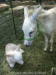 ***EXPLORE *** FBI: P2070607 ITS A ROUGH WORLD OUT THERE, YOU HAVE TO WATCH AS YOU GROW UP.. NOT EVERYONE IS YOUR FRIEND....SOMEONE ALWAYS BREAKS YOUR HEART... (Frozen in Time photos by Marianne AWAY OFF/ON) Tags: animals donkeys donkey scout explore burro goats veteranspark burros fbi farmanimals naturesfinest americaamerica septemberfest whitedonkey hamiltonnewjersey hamiltonveteranspark mywinners flickrfarm nationalgeographicwannabes anawesomeshot nationalgeographicareyougoodenough favoritesbyinterestingness photothatmadeittoexplore allkindsofbeauty discoveryphotos sensationalcreationsofexcellence thatsalmostperfect rockinhorsecorralfriends 9142008 septemberfest2008 thecelebrationof~life~ awwwed~cuteadorablephotos bestwildlifephotosaward walkinonby rockinhorsecorralfriendsawardwinnersgallery~thegalleryofyourphotoswith3groupawards whiteburro photosthatmadeittoscoutexplore nationalgeographiswannabes