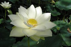 Lotus blanc (Le No) Tags: lotus nelumbonucifera
