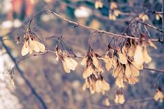 (Georgios Karamanis) Tags: plant macro bush focus dof uppsala explored karamanis powmerantusenord