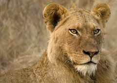 Londolozi Lion (randy_harris) Tags: africa nature southafrica mammal dangerous feline wildlife lion conservation safari stalker strength predator krugernationalpark carnivore fearless londolozi southernafrica cunning kingofbeasts feared safarianimals treecamp undomesticatedcat founderscamp vartycamp