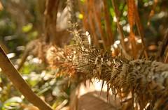 Thorn bush (Nathan.Charles) Tags: sylhet bangladesh srimongal
