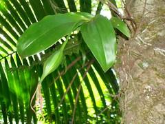 Epidendrum angustilobum (tropicalgardener1) Tags: forest puerto rico guavate carite 22209