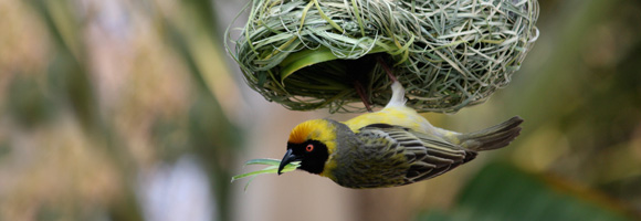 bird_nest_vireo_weaver (by dmuren)