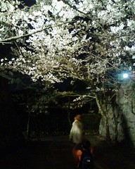 松阪城の桜のライトアップ