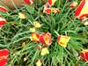 tulipani a volontà