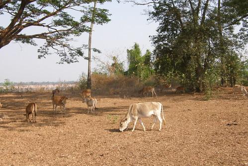 48.寮國的牛都很瘦
