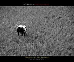 weeding out the troubles... (naked.eye) Tags: bw farm philippines farmer ricefields camarinessur buhi sigma18200mm 40d bicoltrip lakebuhi pinoykodakero rempleo