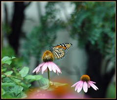 Happy Fluttery Friday (makeupanid) Tags: butterfly garden monarch coneflower workgarden flutteryfriday heartsaward platinumheartaward buzznbugz betterthangood rightoutsidetheoffice