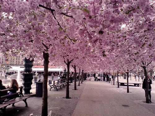 Körsbärsblommor i Kungstädgården - otroligt vackert