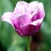 lavendertulip