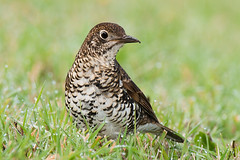 Bassian Thrush (Jon Thornton) Tags: nikon australianbirds d300 jonthornton