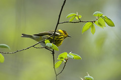 May 11th Cape May Warbler 3 (violetflm) Tags: bird spring grove native d2x best il capemay warbler capemaywarbler edim may11th cf25380
