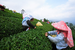 Taiwan oolong tea (Arte Lee) Tags: nature canon tea taiwan   oolongtea                    taiwanoolongtea