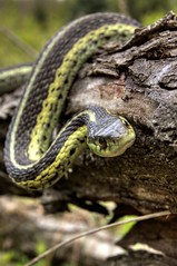 Common Garter (Emery O) Tags: garter wisconsin canon snake common snakes gartersnake 1635mm 50d commongarter