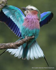 Bird ({ Planet Adventure }) Tags: portrait bird wow happy poser bravo colorful wildlife roller thebest londonzoo digitalphotography holidayphotos travelguide travelphotography digitalworld intrepidtraveler traveltheworld planetadventure canonef70200mmf28lisusm colorfulworld worldexplorer amazingplanet intrepidtravel alessandrobehling topphotography holidayphotography colorfulearth photographyhunter photographyisgreatfun