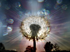 Wisdom - Seeds of Light (h.koppdelaney) Tags: life light art nature digital photoshop self hope freedom energy open power symbol buddha unity explosion philosophy seeds mind teaching wisdom awareness metaphor mythology rinpoche lightness synergy symbolism psychology archetype teachings wholeness totallity hourofthesoul saariysqualitypictures graphicmaster