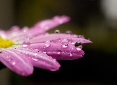 (rasmuskopperudriis) Tags: pink flower water rain yellow norway drops spring rasmus riis kopperud rasmuskriis