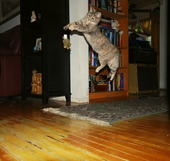 Mitch's Cat Thinks He's Flying Freddie (merriewells) Tags: casey topanga bestofcats catnipaddicts jumpingcatflash freddiewannabe mitchscat